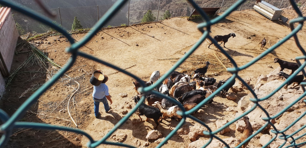 A farmer feeding goats seen through a fence