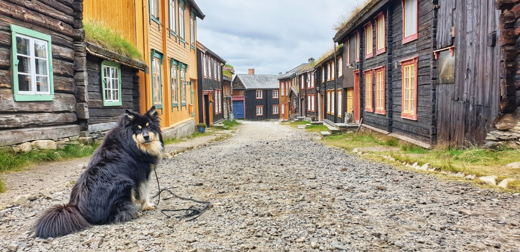 A dog sitting in the historic Sleggveien in Røros looking into the camera.