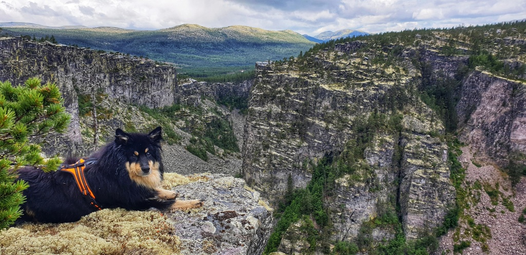 Black and beige dog with orange harness looking into the camera while lying on the edge of Jutulhogget canyon in Alvald Norway