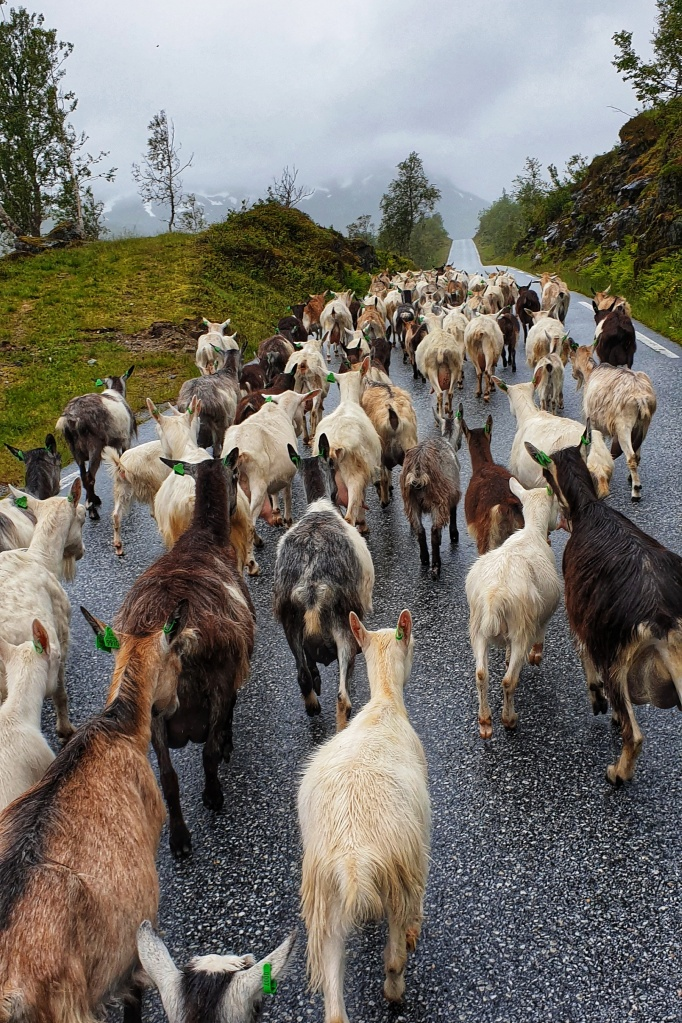Goats on the Gaularfjellet road on a misty day