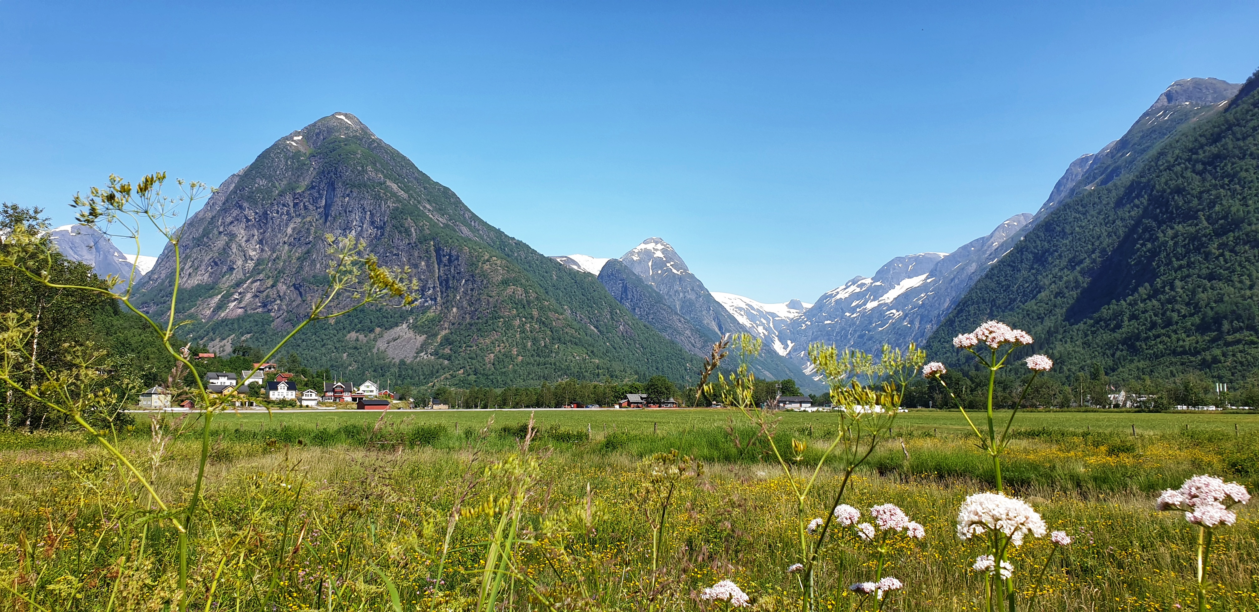 Flowers and fields in Fjærland with mountains and glacier behind